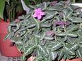 pink  Monkey Plant, Red ruellia Photo and characteristics