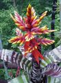 red  Silver Vase, Urn Plant, Queen of the Bromeliads Photo and characteristics