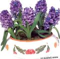 purple Herbaceous Plant Hyacinth Photo and characteristics