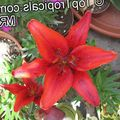 red Herbaceous Plant Lilium Photo and characteristics