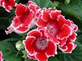 red Herbaceous Plant Sinningia (Gloxinia) Photo and characteristics