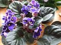 purple Herbaceous Plant African violet Photo and characteristics