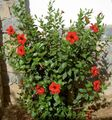 red Shrub Hibiscus Photo and characteristics