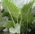 green Herbaceous Plant Colocasia, Taro, Cocoyam, Dasheen Photo and characteristics