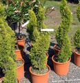 light green Tree Cypress Photo and characteristics