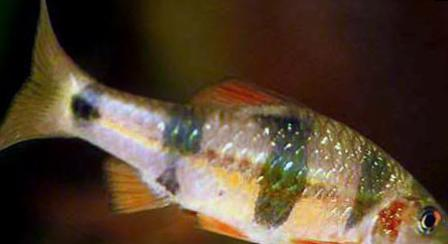 Clown Barb Aquarium Fish Barbus Everetti Puntius