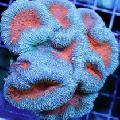 Aquarium Lobed Brain Coral (Open Brain Coral), Lobophyllia light blue Photo