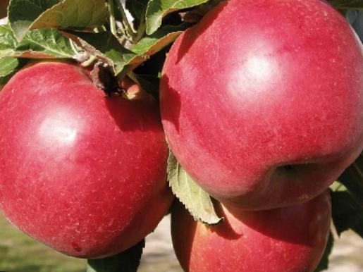 Яблоко сорт женева фото