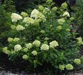 green Flower Panicle Hydrangea, Tree Hydrangea Photo and characteristics