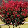 red Flower Crape Myrtle, Crepe Myrtle Photo and characteristics
