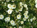 white Flower Rock rose, Sun Rose Photo and characteristics