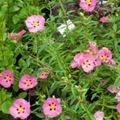 pink Flower Rock rose, Sun Rose Photo and characteristics