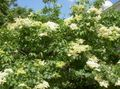 white Flower Syringa amurensis Photo and characteristics