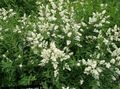 white Flower Privet Photo and characteristics