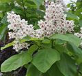 white Flower Southern catalpa, Catawba, Indian bean tree Photo and characteristics
