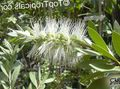 white Flower Bottlebrush Photo and characteristics