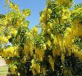 yellow Flower Golden rain, Golden Chain Tree Photo and characteristics