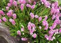 pink Flower Spike Heath Photo and characteristics
