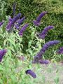 dark blue Flower Butterfly Bush, Summer Lilac Photo and characteristics