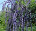 light blue Flower Butterfly Bush, Summer Lilac Photo and characteristics
