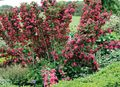 red Flower Weigela Photo and characteristics