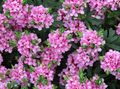 pink Flower Heather Photo and characteristics