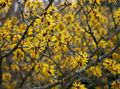 yellow Flower Witchhazel Photo and characteristics