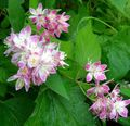 pink Flower Deutzia Photo and characteristics