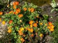 orange Blume Fingerkraut, Shrubby Cinquefoil Foto und Merkmale