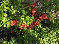 red  Flowering quince Photo and characteristics