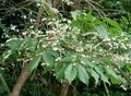 white Flower Maleberry Photo and characteristics