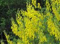 yellow Flower Broom Photo and characteristics