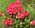 red Flower Azaleas, Pinxterbloom Photo and characteristics