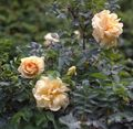 orange Blume Strand Rose Foto und Merkmale