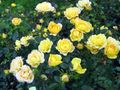 yellow Flower Polyantha rose Photo and characteristics