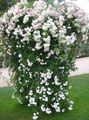 white Flower Rose Rambler, Climbing Rose Photo and characteristics