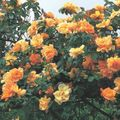 orange Blume Rambler Rose, Kletterrose Foto und Merkmale