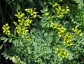 yellow Flower Common Rue, Garden Rue, Herb of Grace, Herbygrass Photo and characteristics