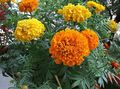 orange Flower Marigold Photo and characteristics