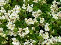 white Flower Wax Begonias Photo and characteristics