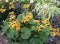 yellow Flower Bigleaf Ligularia, Leopard Plant, Golden Groundsel Photo and characteristics