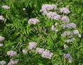 pink Flower Valerian, Garden Heliotrope Photo and characteristics