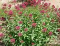 red Flower Jupiter's Beard, Keys to Heaven, Red Valerian Photo and characteristics