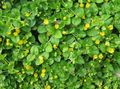 yellow Flower Moneywort, Creeping jenny Photo and characteristics