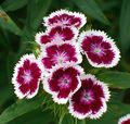 burgundy Flower Sweet William Photo and characteristics