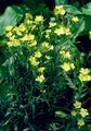 yellow Flower Dianthus perrenial Photo and characteristics