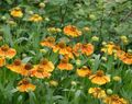 orange  Sneezeweed, Helen's Flower, Dogtooth Daisy Photo and characteristics