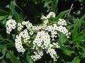 white Flower Heliotrope, Cherry pie plant Photo and characteristics