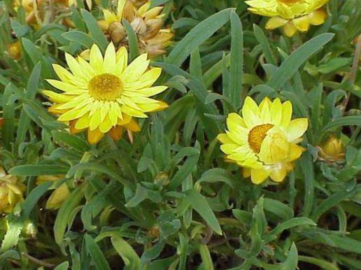 Have blomster strawflowers, papir daisy, helichrysum bracteatum ...