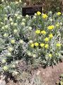 yellow Flower Helichrysum perrenial Photo and characteristics